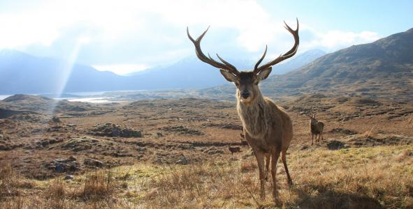 Isle of Lewis: Celebration of the Stag