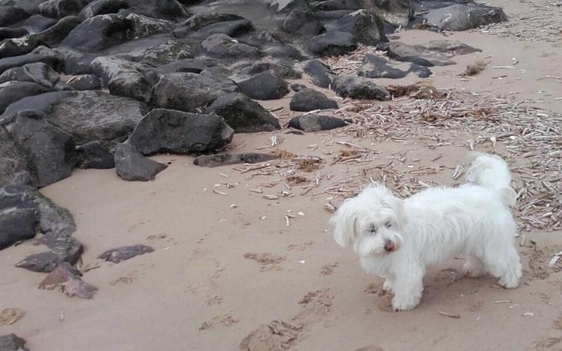 Daisy in the Llŷn Peninsula